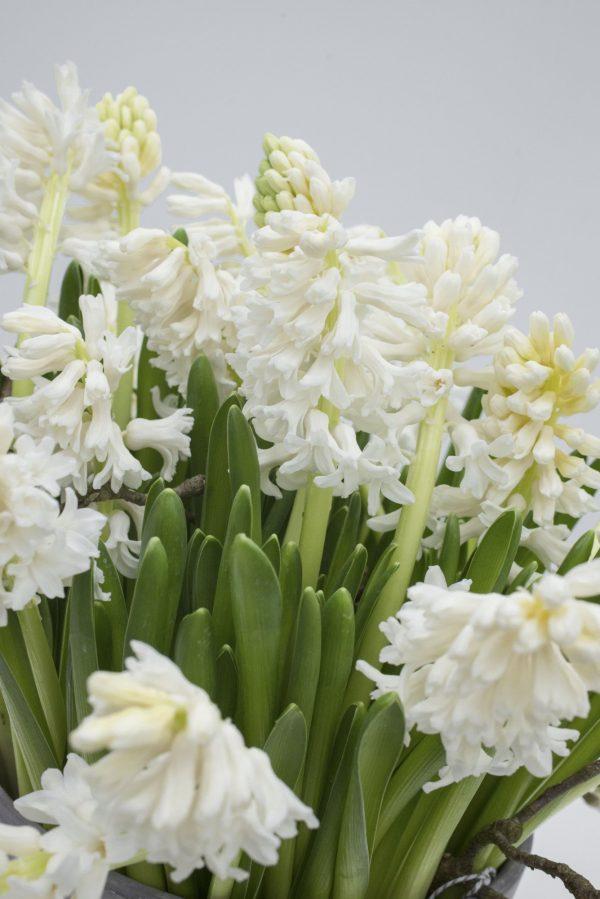 White hyacinth Louvre