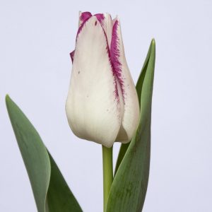 Beautiful white/pink tulip Affaire