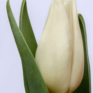 Beautiful white tulip Agrass White