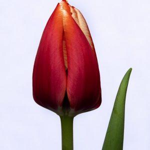 Beautiful red tulp Anna Krasavitsa