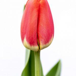 Beautiful red tulip Antarctica Love