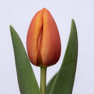 Beautiful orange tulip Asahi