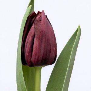 Beautiful dark purple tulip Ayaan