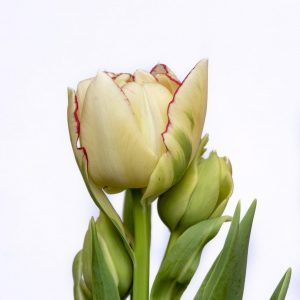 Beautiful double white/red tulp Belicia