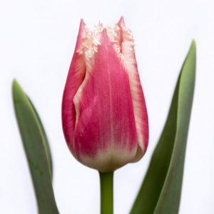 Beautiful pink/white tulip Bell Song