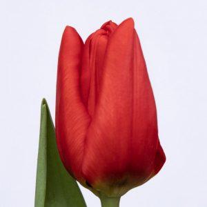 Beautiful Red tulip Ben van Zanten