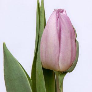 Beautiful tulip Candy Prince