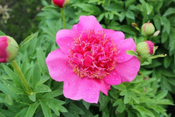 A gorgeous dark pink open peony