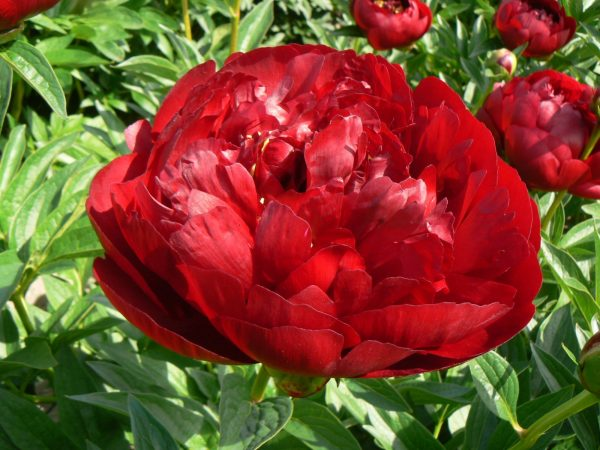 Buckeye Belle is a semi-double peony with a dark red color. When it opens, the core of the red flower shows yellow stamens; a fantastic effect.