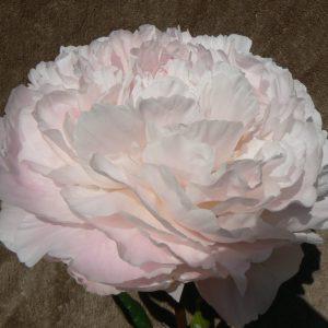 Carl G. Klehm, beautiful light pink peony.