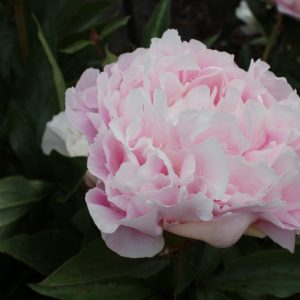 Catharina Fontijn a light pink peony that colors slightly different every year