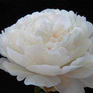 Class Act one of the coarsest white peonies. The huge buds betray the size of the flower, but not that the beige leaves eventually turn white.