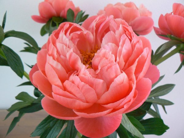 Coral Charm a peony with with floewr leaves. At the heart of the flower are green seeds that are surrounded by yellow stamens