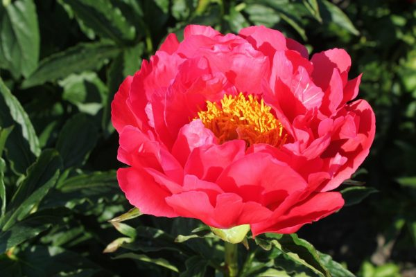 A beautiful coral pink peony with yellow heart.