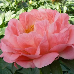 Coral Sunset is a beautiful orange peony with big flowers