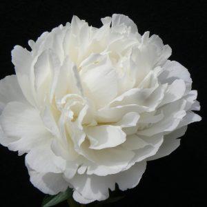 Beautiful white full peonie Elsa Sass