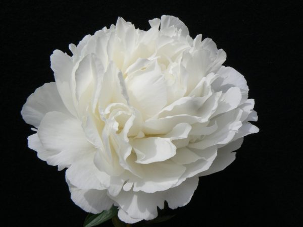 Beautiful white full peonie Elsa Sass