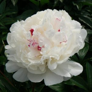 Beautiful white with a little pink peony Festiva Maxima