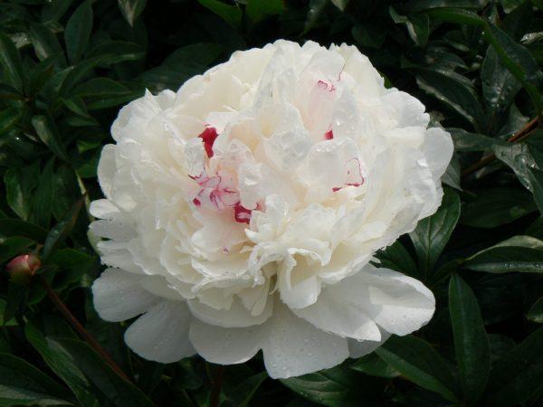 Beautiful white with a little pink peony Festiva Maxima