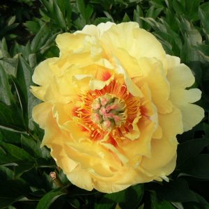 Gorgeous yellow peony