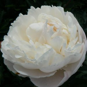 Gardenia is a ivory white peony with huge flowers
