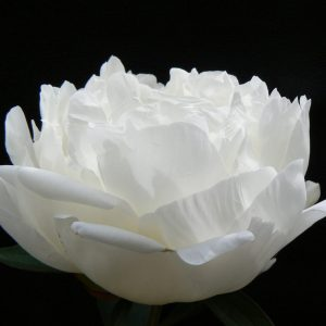 Peony with a great white/pink color Immaculee