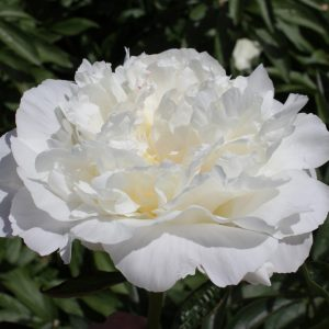 Half-filled white peony In Full Sail