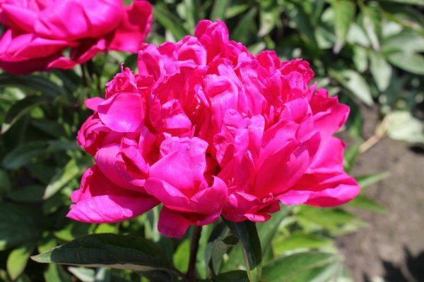 Beautiful pink peony Karl Rosenfield