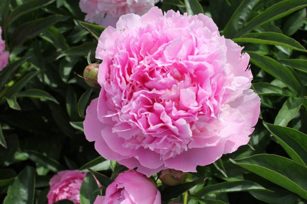 Beautiful double pink peony Lady Anne
