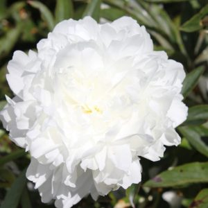 The whitest peony there is this big filled Madame Claude Tain