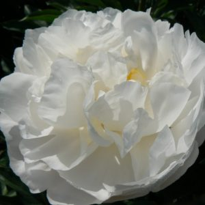 Happy white peony with open heart Miss America