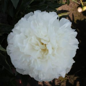 Gorgeous white peony Moonlit Snow