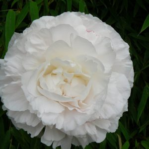 Beautiful ivory white peony with huge buds Mother's Choice