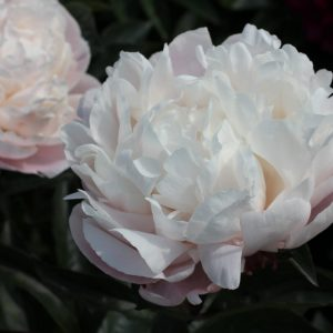 Peony Nick Saylor has huge flowers who changes from pink to white.