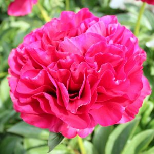 The biggest red Peony Ole Faithful