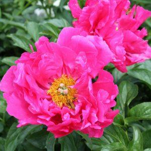 Beautiful lipstick pink peony Paula Fay