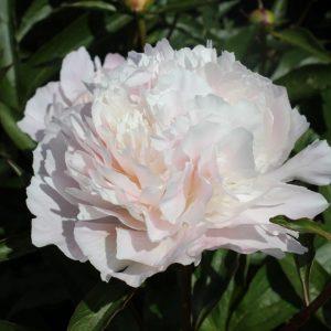 Gorgeous light pink peony Pecher
