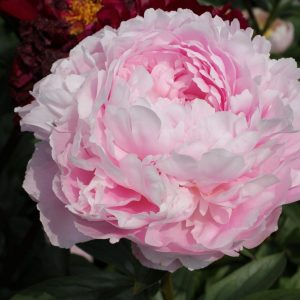 Delicate and powrfull the pink flowers from the peony Pillow Talk
