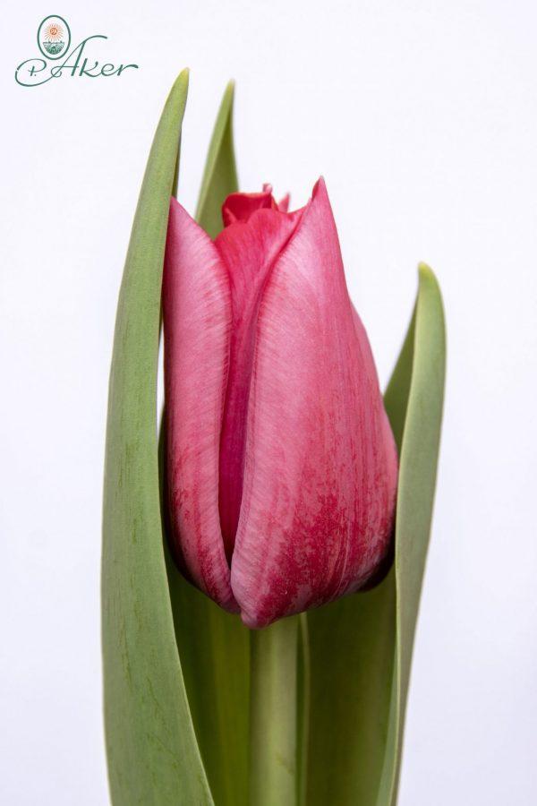 Beautiful pink tulip Pink Ribbon