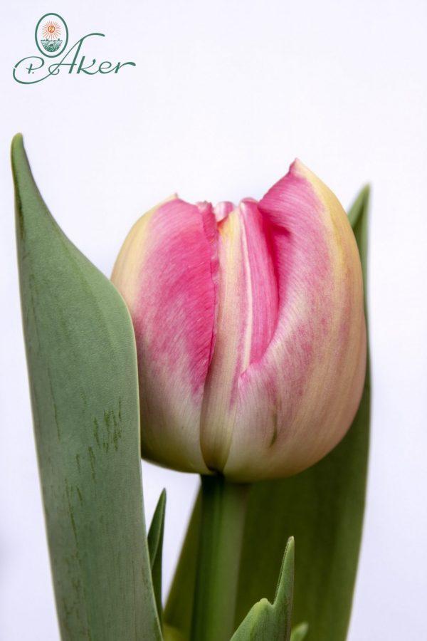 Beautiful pink tulip Pinza