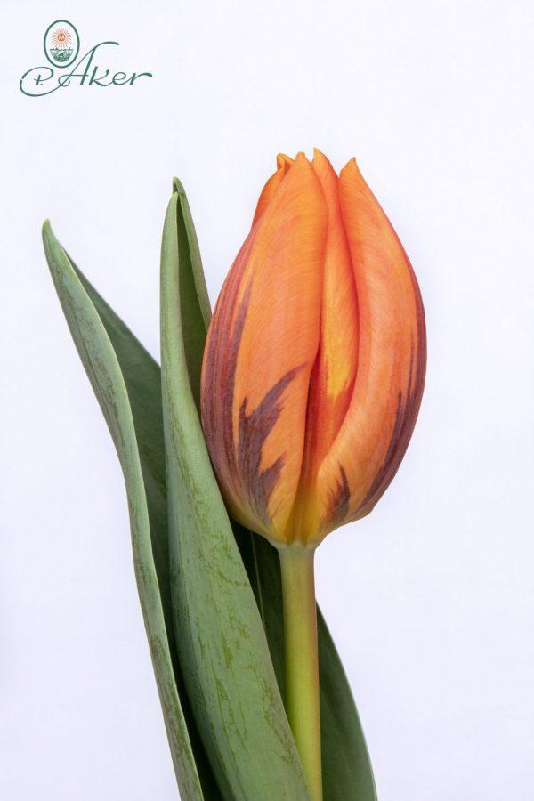 Beautiful orange tulip Prinses Irene