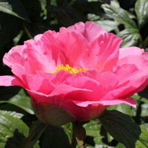 Salmon pink color and beautiful flowers this peony Salmon Chiffon