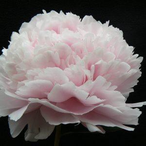 Beautiful pink full peony Sarah Bernhardt