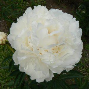 Beautiful white peony Snow Princess