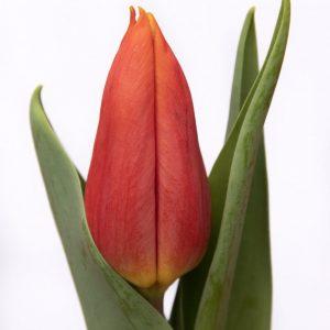 Beautiful red tulip Titan