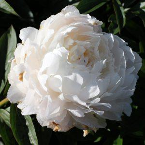 Beautiful big flower peony White Sarah Bernhardt