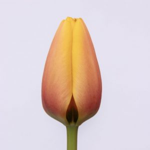 Beautiful orange yellow tulip World Peace