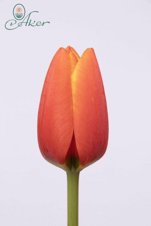 Beautiful red yellow tulip World's Favourite