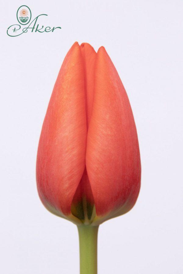 Beautiful red tulip Worlds Fire