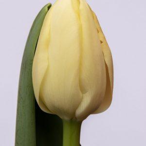 Beautiful creme tulip Yankee